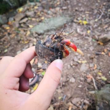 En eremittkreps funnet på toppen av øya